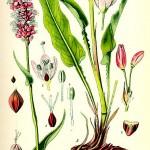 Кървавиче (Polygonum bistorta) - Отличителни белези