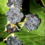 Къпина (Rubus caesius) - Плод