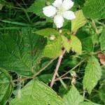 Къпина (Rubus caesius) - Цвят и листа