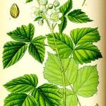 Къпина (Rubus caesius) - Отличителни белези