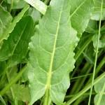 Киселец (Rumex acetosa) - Лист