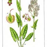 Киселец (Rumex acetosa) - Отличителни белези