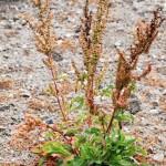 Къдрав лапад (Rumex crispus) - Външен вид