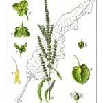 Къдрав лапад (Rumex crispus) - Отличителни белези