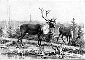 Рисунка на Сетън, изобразяваща елен Карибу