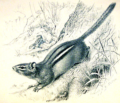 Рисунка на земна катерица