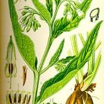 Зарастличе, чер оман (Symphytum officinale) - Отличителни белези