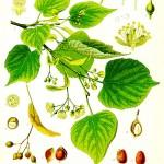Липа (Tilia sp.) - Отличителни белези