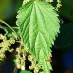 Коприва (Urtica dioica) - Лист