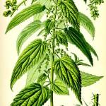 Коприва (Urtica dioica) - Отличителни белези