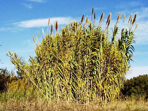 Arundo donax - Гигантска тръстика